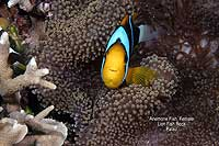Anenome Clown Fish